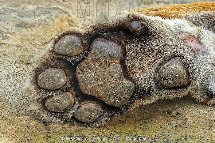 Bengal tiger (Panthera tigris) paw, female, Ranthambhore, India, Endangered species.