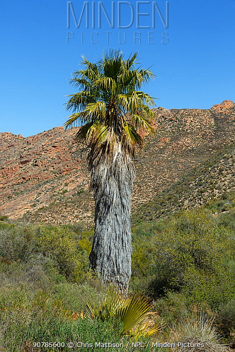 Introduced Fan palm (Washingtonia sp), Cederberg Mountains, South Africa