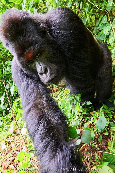 Mountain gorilla (Gorilla beringei beringei) silverback male, member of the Humba group, Virunga National Park, North Kivu, Democratic Republic of Congo, Africa, Critically endangered.