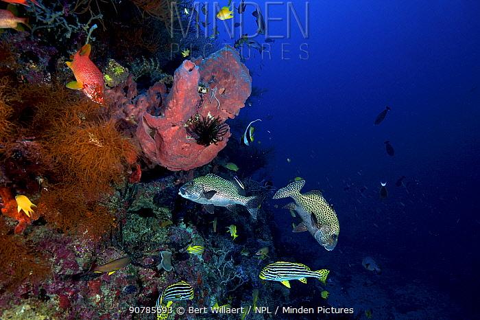 Oriental sweetlips (Plectorhinchus vittatus) and Harlequin sweetlips (Plectorhinchus chaetodonoides), Bismarck Sea, Vitu Islands, West New Britain, Papua New Guinea