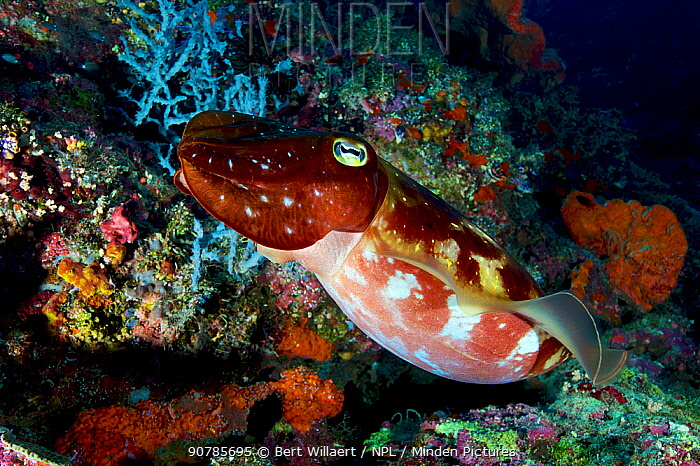 Broadclub cuttlefish (Sepia latimanus), Bismarck Sea, Vitu Islands, West New Britain, Papua New Guinea