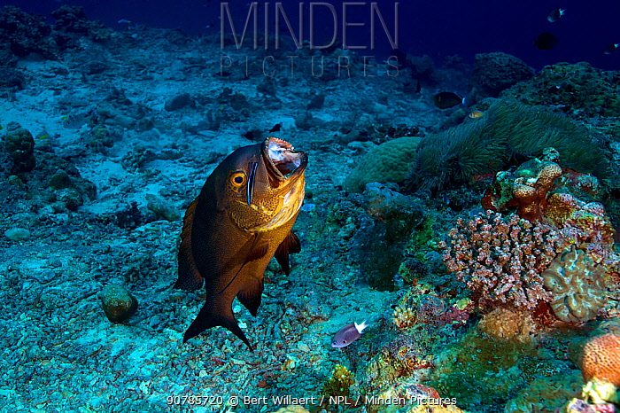 Midnight snapper (Macolor macularis) being cleaned by Bluestreak cleaner wrasse (Labroides dimidiatus), Kimbe Bay, West New Britain, Papua New Guinea