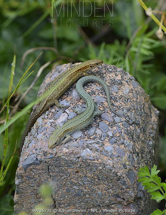 Two Common lizards (Zootoca vivipara) basking on rock, showing polymorphism, Devon, UK. August.