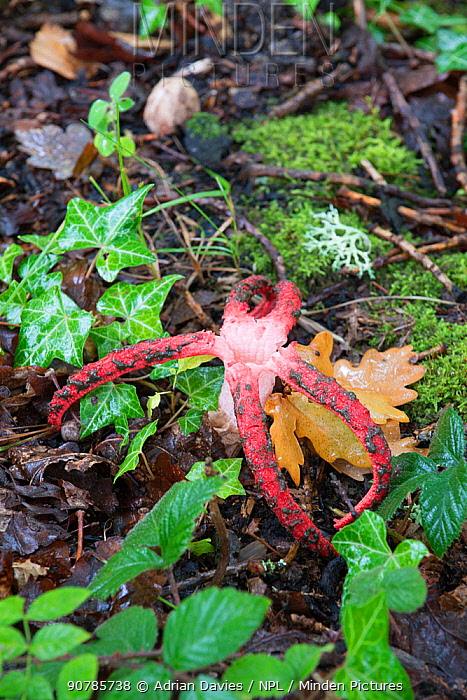 Devil's fingers fungus (Clathrus archeri) among ivy, mosses and lichen on forest floor, Sussex, UK. September 2017.