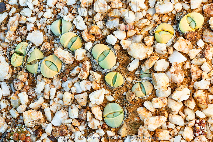 Endemic Stone plant (Argyroderma delaetii) also known as Bababoudjes (Babies' bottoms), growing among quartz pebbles in the Knersvlakte, Western Cape, South Africa