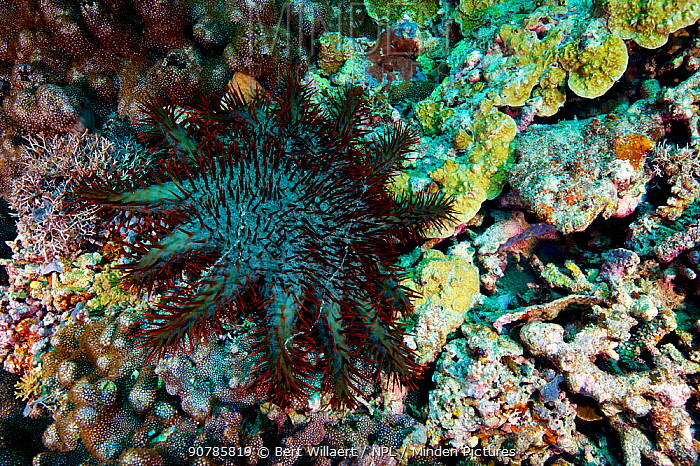 Crown of thorns starfish (Acanthaster planci), Kimbe Bay, West New Britain, Papua New Guinea