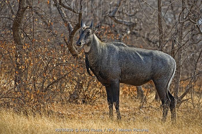 Nilgai (Boselaphus tragocamelus) in forest, Ranthambhore, India.