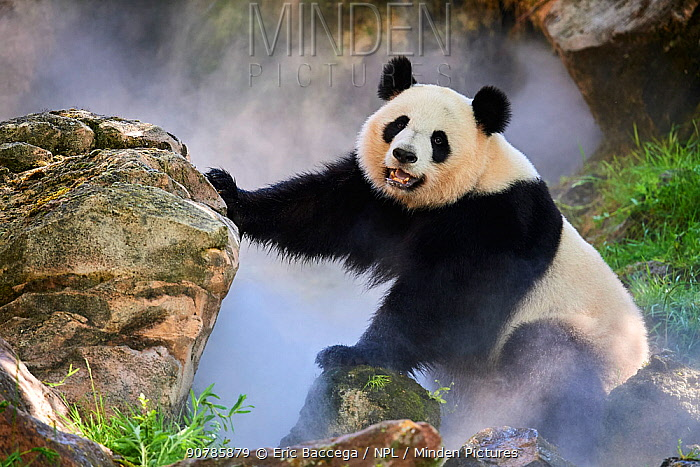 Giant panda (Ailuropoda melanoleuca) female, Huan Huan, out in her enclosure in mist, Captive at Beauval Zoo, Saint Aignan sur Cher, France