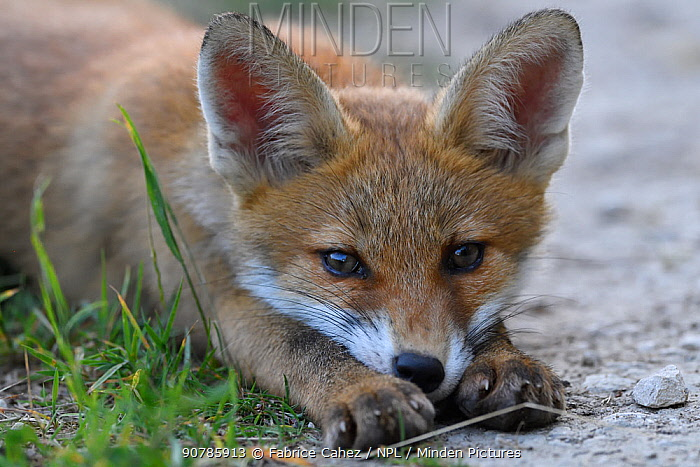 Red fox (Vulpes vulpes) pup resting, Vosges, France, June.