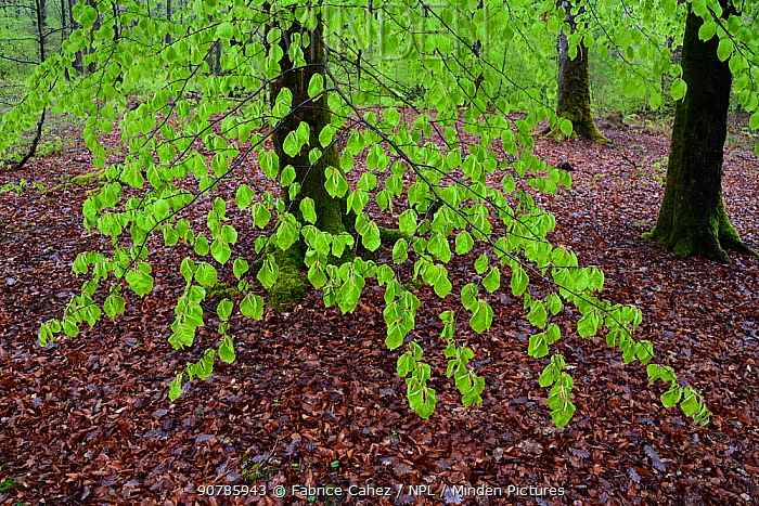 Beech (Fagus sylvatica) tree branch with new leaves above carpet of fallen leaves, Vosges mountain, France, April.