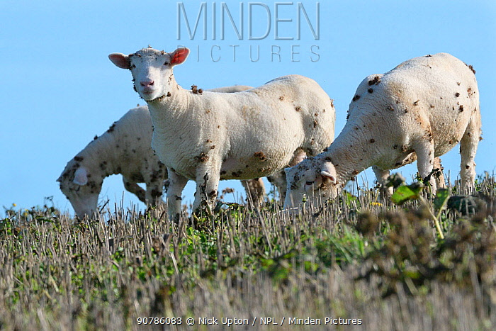 Domestic sheep (Ovis aries) grazing on weeds in a stubble field with many Burdock (Arctium sp) burrs attached to their fleeces, Cornwall, UK, October.