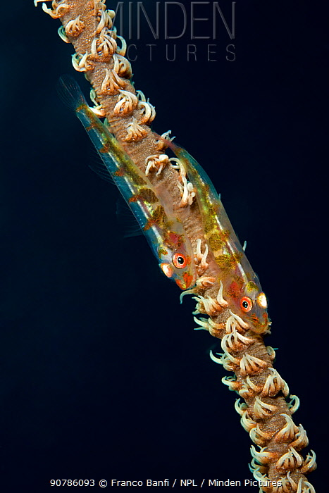 Goby (Bryaninops loki) pair on a Wire coral, My Paradise Reef, Cabilao Island, Bohol, Central Visayas, Philippines, Pacific Ocean.