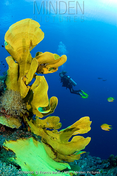 Elephant ear sponge (Ianthella basta) with a scuba diver swimming in he background, Gorgonia Wall Reef, Cabilao Island, Bohol, Central Visayas, Philippines, Pacific Ocean.