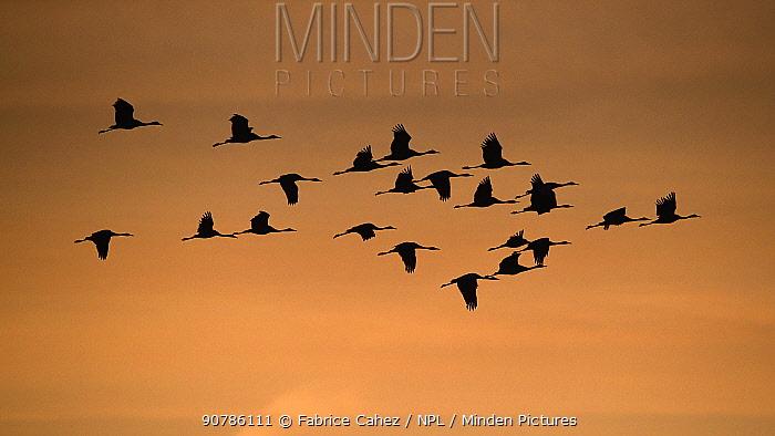 Common crane (Grus grus) flock in flight, Lac du Der, France, November.