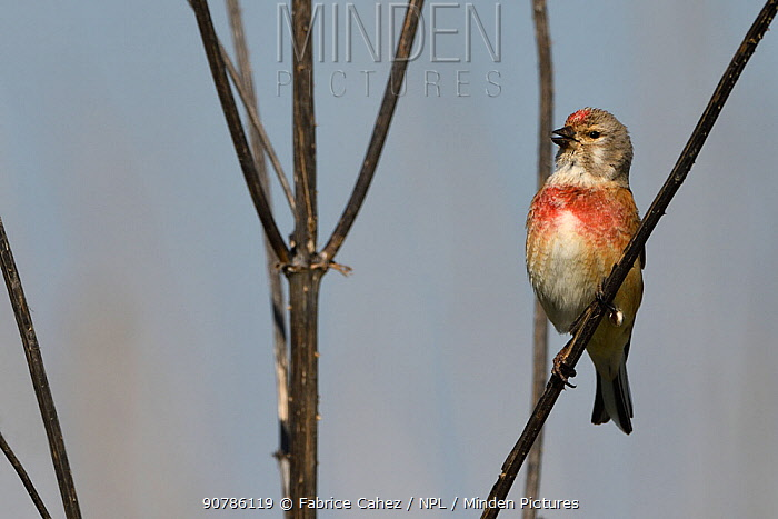 Common linnet (Linaria cannabina) male in breeding plumage, Vosges, France, April.