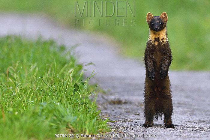 Pine marten (Martes martes) standing on hind legs, Vosges, France, May.