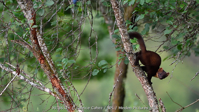 Pine marten (Martes martes) running down branch,  Vosges, France, August.