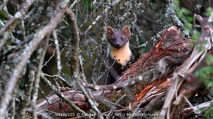 Pine marten (Martes martes) peering from behind log and twigs, Vosges, France, August.