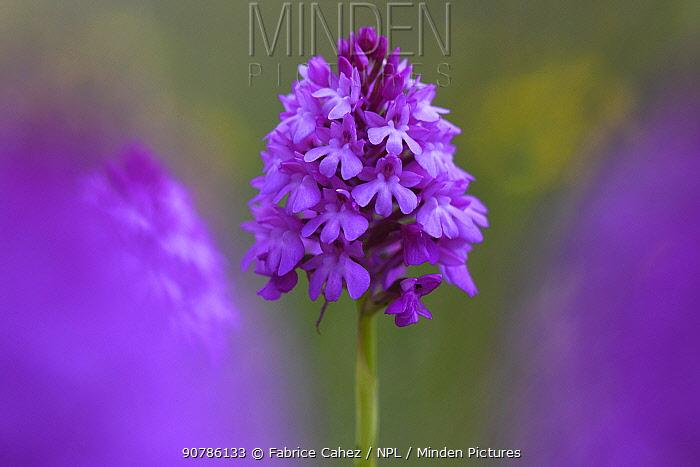 Pyramidal orchid (Anacamptis pyramidalis) flower, Vosges, France, June.