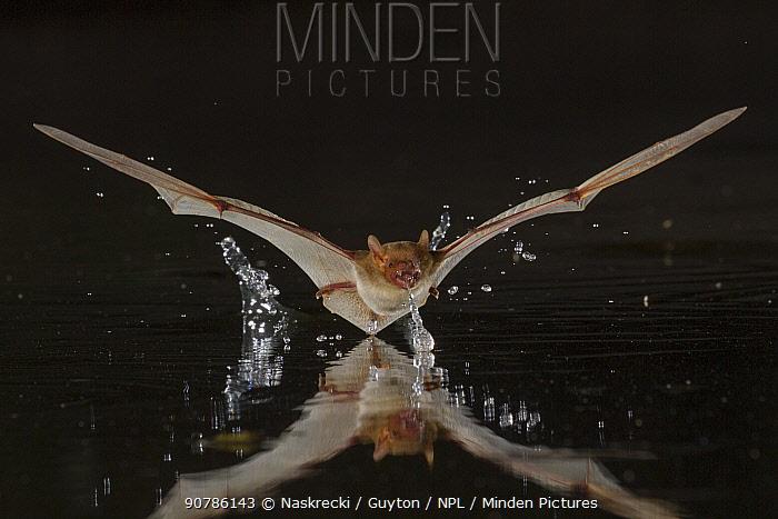 Rendall's serotine bats (Neoromicia rendalli) drinking from pool in flight, Gorongosa National Park, Mozambique.
