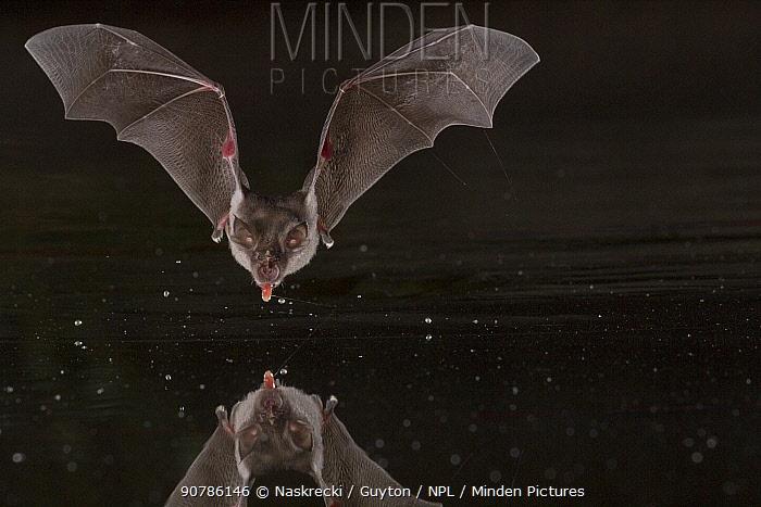 Horseshoe bat (Rhinolophus sp.) taking drink at a pond in Gorongosa National Park, Mozambique.