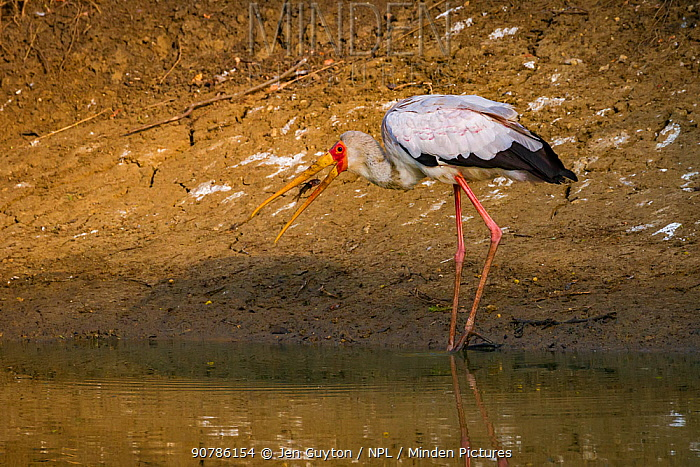 Yellow-billed stork (Mycteria ibis) swallowing a tiny fish that it has captured in the Msicadzi River, Gorongosa National Park, Mozambique.