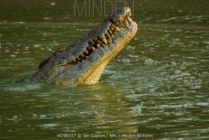 Nile crocodile (Crocodylus niloticus) poking its head out of the Msicadzi River to swallow a tiny fish it has captured. Gorongosa National Park, Mozambique.