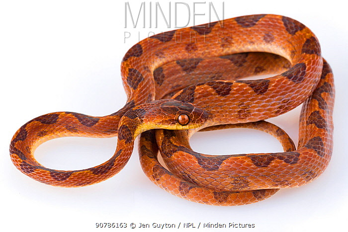 Cat-eyed snake (Leptodeira septentrionalis) from La Selva Biological Station, Costa Rica. Controlled conditions.