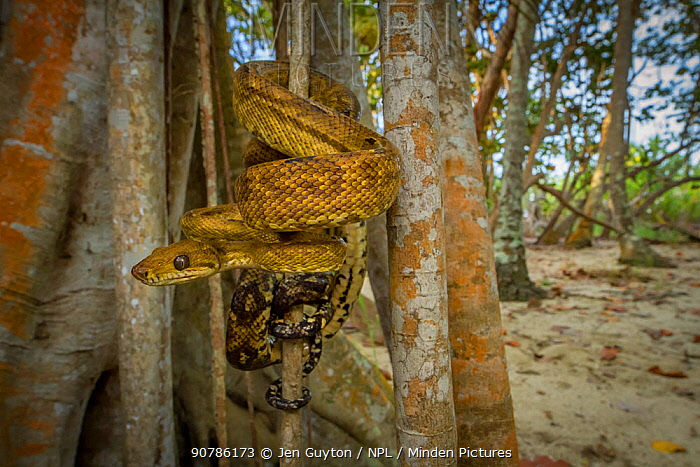 Central American tree boa (Corallus ruschenbergerii) wrapping around the fig tree trunk, Tayrona National Natural Park, northern Colombia.