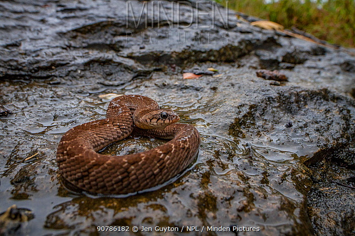 Night adder (Causus defilippi) basking on a rock after light rain. from the Greater Gorongosa Ecosystem, Mozambique.