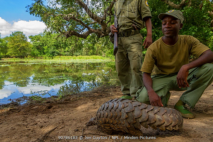 Park ranger releasing Ground pangolin (Smutsia temminckii) after rescuing it from poachers. Gorongosa National Park, Mozambique.