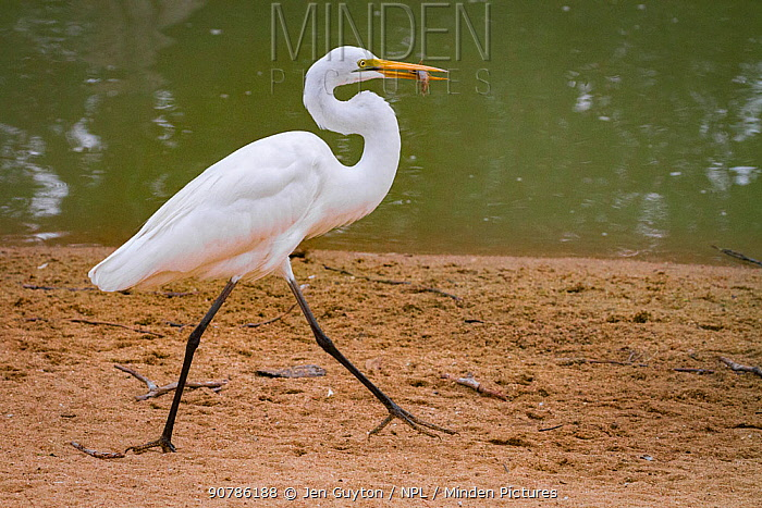Great egret (Ardea alba) walks with a small fish it has captured in the Msicadzi River, Gorongosa National Park, Mozambique