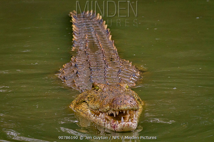 Nile crocodile (Crocodylus niloticus) poking  its head out of the Msicadzi River to swallow a tiny fish, Gorongosa National Park, Mozambique,