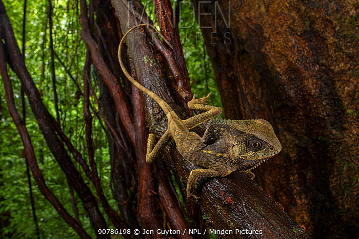Helmeted iguana (Corytophanes cristatus) Puntarenas Province, Costa Rica.