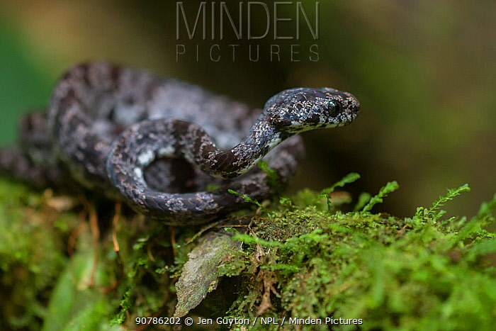 Clouded snail-eater snake  (Sibon nebulatus) at La Selva Biological Station, Costa Rica.