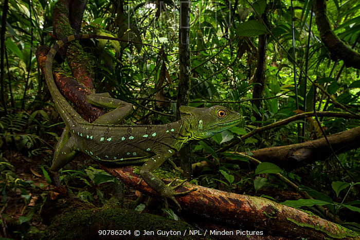 Plumed basilisk (Basiliscus plumifrons) female La Selva Biological Station, Costa Rica.