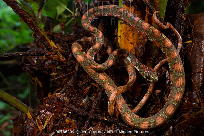 Lichen-coloured snail-sucker snake (Sibon longifrenis) La Selva Biological Station, Costa Rica.