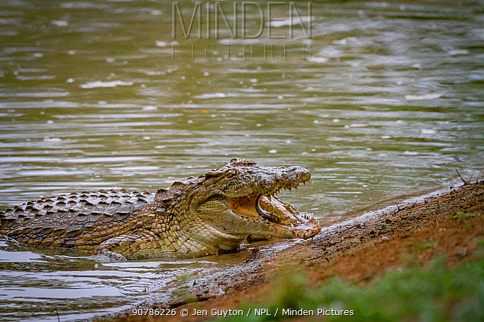 Nile crocodile (Crocodylus niloticus) emerges from the Msicadzi River to swallow a mouthful of fish.  Gorongosa National Park, Mozambique