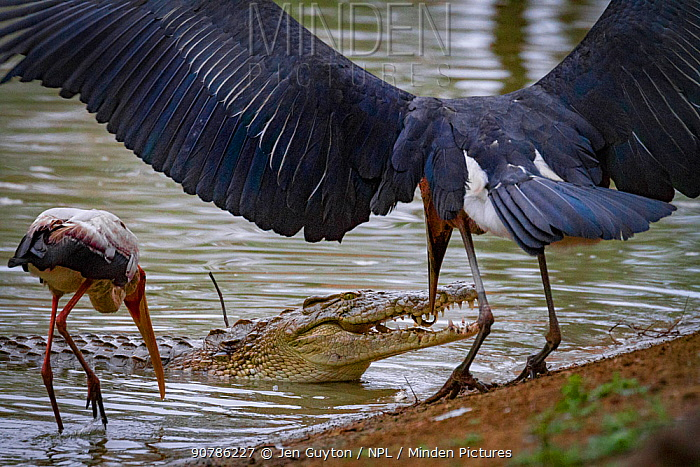 Marabou stork (Leptoptilos crumenifer) steals a small fish from between the jaws of a Nile crocodile (Crocodylus niloticus) whilst Yellow-billed stork (Mycteria ibis) watches on. Gorongosa National Park, Mozambique.