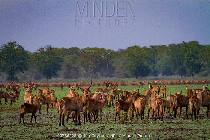 Herd of Common waterbuck (Kobus ellipsiprymnus) with thousands of flies on the floodplain in Gorongosa National Park, Mozambique.
