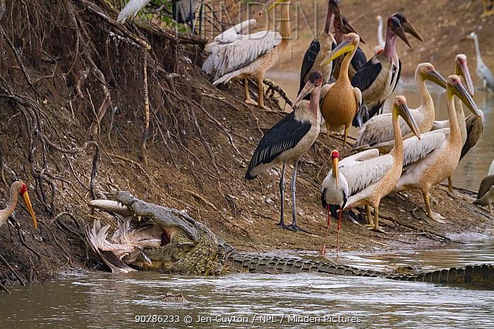 Nile crocodile (Crocodylus niloticus) eating Great white pelican (Pelecanus onocrotalus). With birds on the shore including pink-backed pelicans (Pelecanus rufescens), marabou storks (Leptoptilos crumenifer), yellow-billed storks (Mycteria ibis), and hamerkops (Scopus umbretta). Msicadzi River, Gorongosa National Park, Mozambique