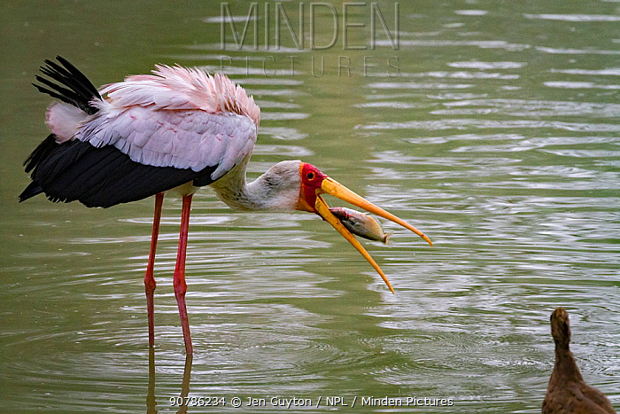Yellow-billed stork (Mycteria ibis) swallowing a fish that it has captured in the Msicadzi River, while a Hamerkop (Scopus umbretta) watched on, Gorongosa National Park, Mozambique.