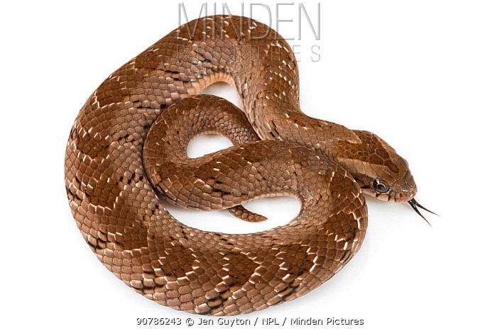 Snouted night adder (Causus defilippi) Greater Gorongosa Ecosystem, Mozambique. Controlled conditions.