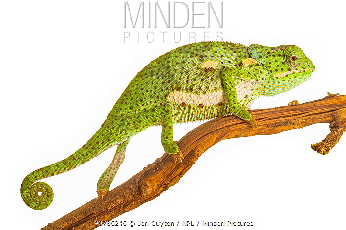 Flap-necked chameleon (Chamaeleo dilepis) with defensive coloration, Greater Gorongosa Ecosystem, Mozambique. Controlled conditions.