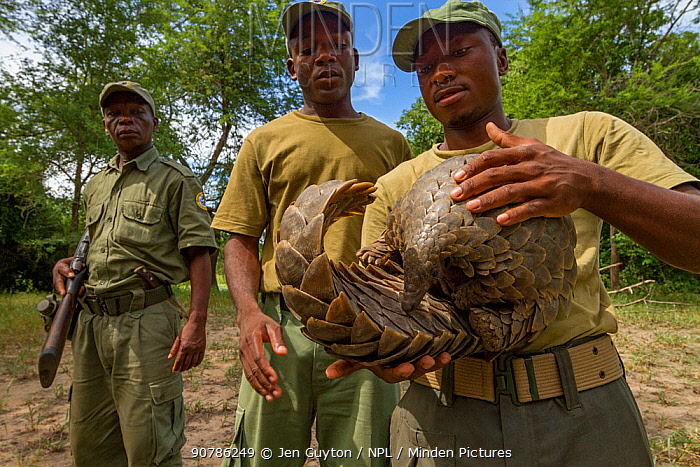 Park ranger holding a Cape pangolin / Temminck's ground pangolin  (Smutsia temminckii), rescued from poachers. This picture was taken shortly before freeing the pangolin. Gorngosa National Park, Mozambique