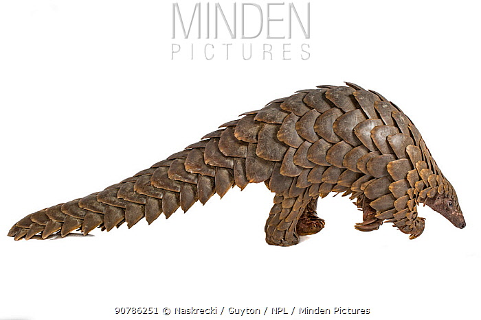Cape pangolin / Temminck's ground pangolin (Smutsia temminckii), from Gorongosa National Park, Mozambique. This is an individual that was rescued from poachers, photographed on a white sheet before being released into the park.