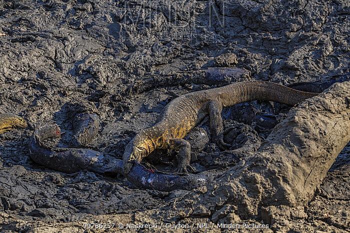 Nile monitor lizards (Varanus niloticus) hunting giant Sharpooth catfish (Clarias gariepinus) in dried up puddle of the Mussicadzi River, Gorongosa National Park, Mozambique.