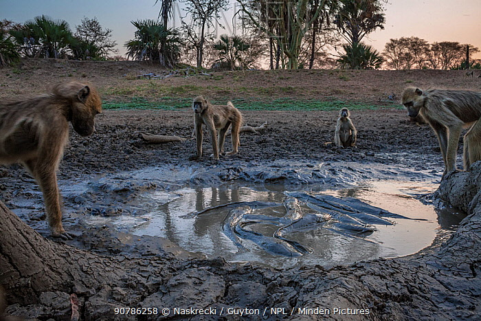 Baboons (Papio sp) watching Sharpooth catfish (Clarias gariepinus) trapped in last puddle of  water, Mussicadzi River during the dry season, Gorongosa National Park, Mozambique.