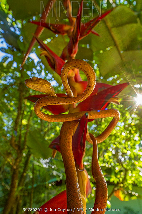 Speckled tree snake (Imantodes inornatus) on a Heliconia flower, La Selva Biological Station, Costa Rica.