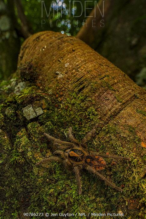 Dwarf tarantula / Pumpkin patch tarantula (probably Hapalopus sp.) on the roots of a tree in the Sierra Nevada de Santa Marta, Colombia.